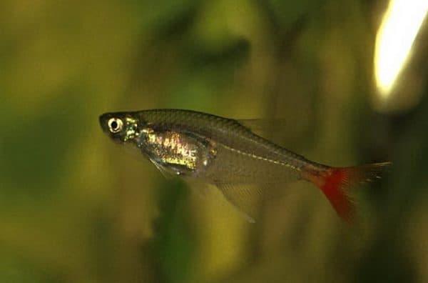 Стеклянная тетра - прекрасная аквариумная рыбка