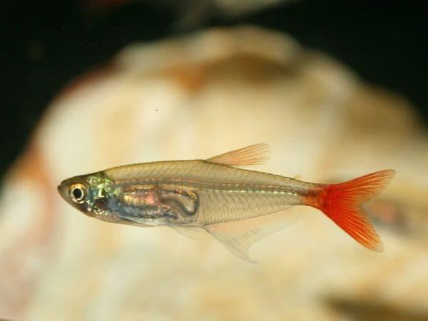 Стеклянная тетра - прекрасная рыбка в аквариуме