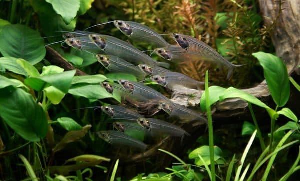 Стеклянный сомик - удивительная аквариумная рыбка