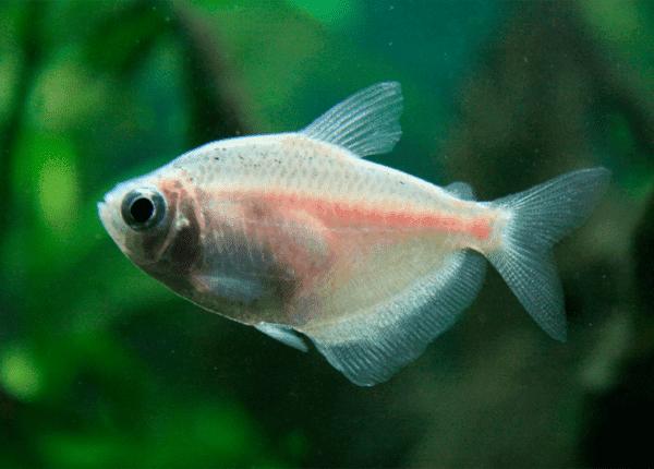 Тернеция белая (альбиносная)