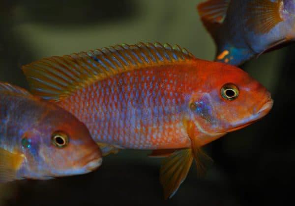 Возможность разведения в условиях аквариума йодотрофеуса Шпренгера