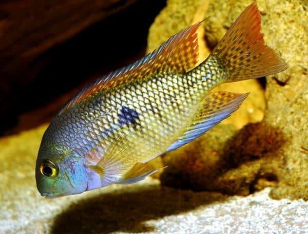 Никарагуанская цихлазома - удивительная рыбка в аквариуме