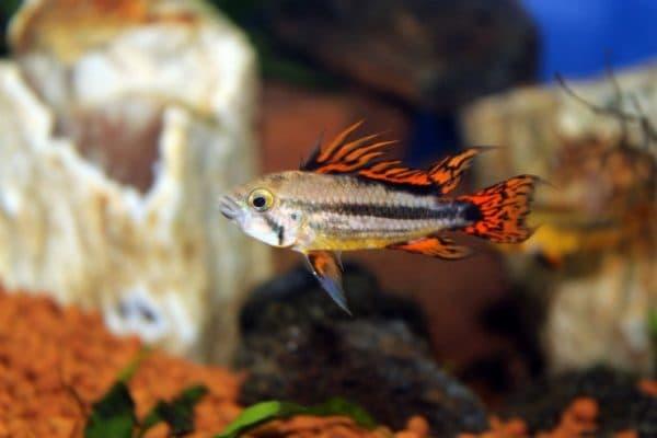 Апистограмма какаду - прекрасная рыбка