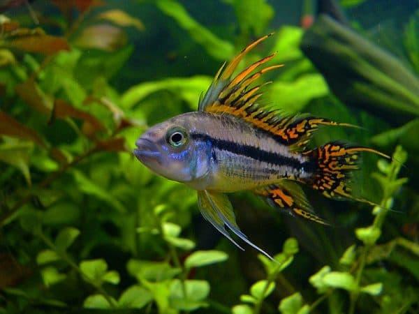 Апистограмма какаду - рыбка в аквариуме