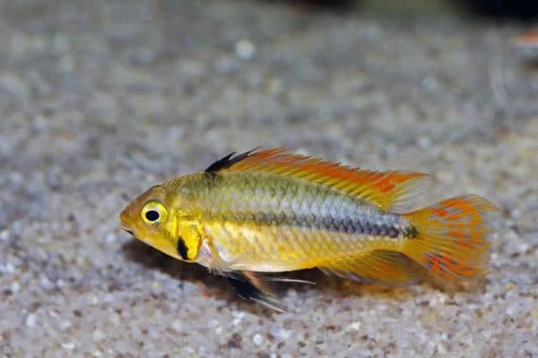 Апистограмма какаду - удивительная рыбка в аквариуме