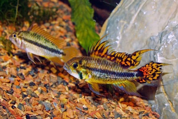 Апистограмма какаду в аквариуме