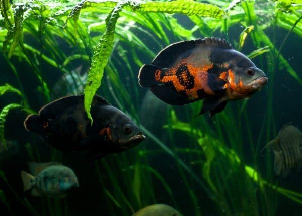 Астронотус тигровый - прекрасная рыбка