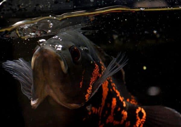 Астронотус тигровый - удивительная рыбка в аквариуме