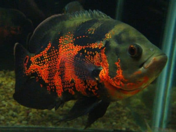 Астронотус тигровый в аквариуме
