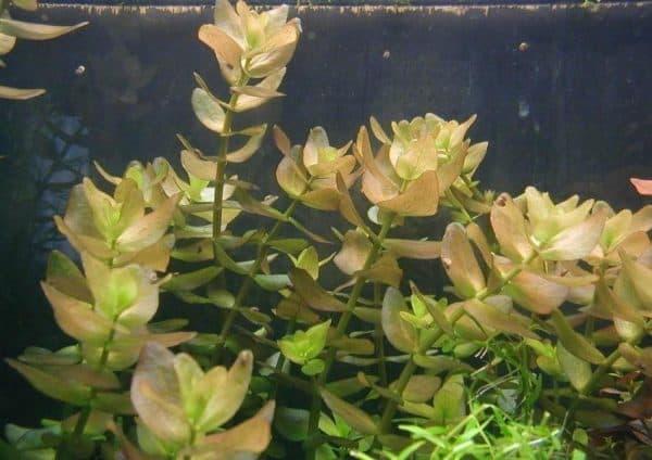 Бакопа каролинская - красивое аквариумное растение