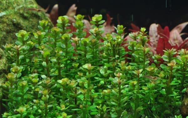 Бакопа каролинская - прекрасное растение