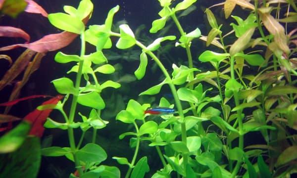 Бакопа каролинская - удивительное аквариумное растение