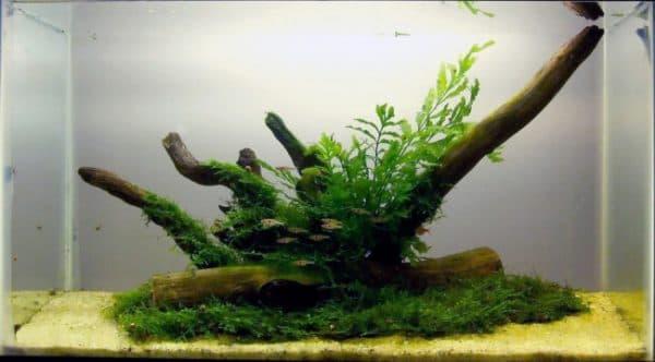 Болбитис геделоти - красивый папоротник в аквариуме