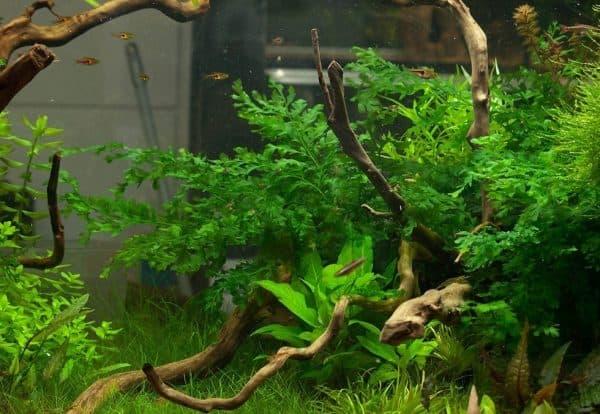 Больбитис в аквариуме читайте статью