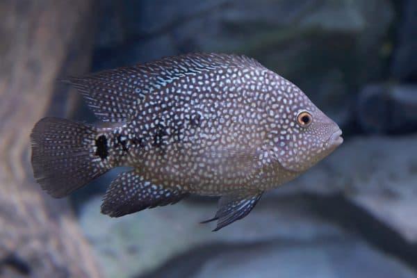 Бриллиантовая цихлазома - красивая рыбка в аквариуме