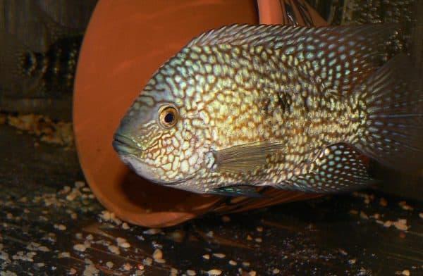 Бриллиантовая цихлазома - прекрасная рыбка в аквариуме