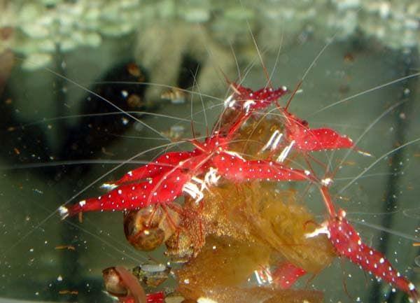 Чем кормить аквариумных креветок читайте статью