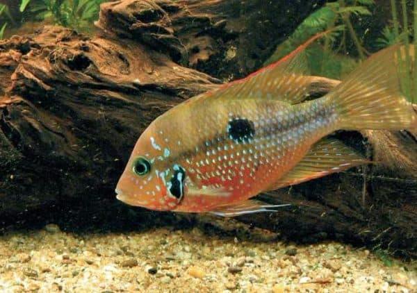 Цихлазома Элиота - прекрасная рыбка в аквариуме