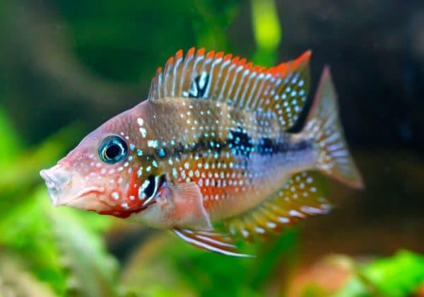 Цихлазома Элиота - удивительная рыбка