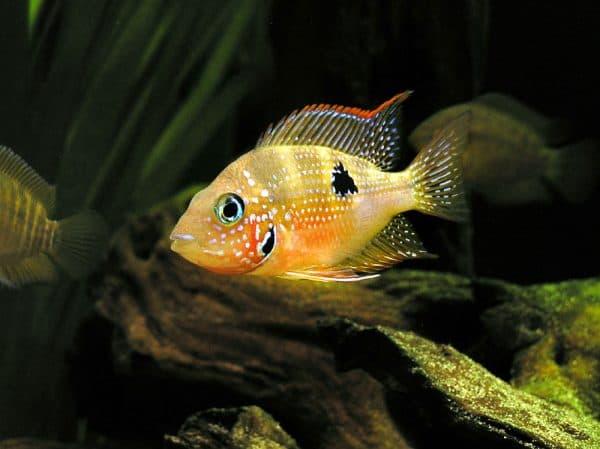 Цихлазома Элиота в аквариуме