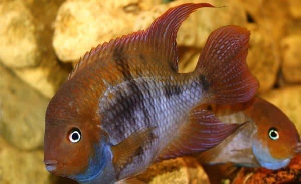 Цихлазома Седжика - красивая рыбка