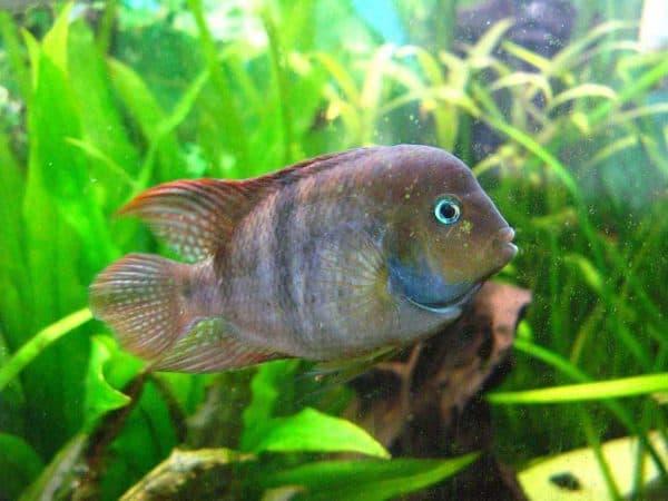 Цихлазома Седжика - прекрасная рыбка