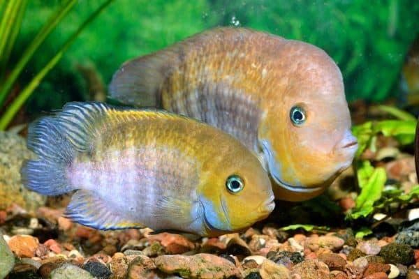 Цихлазома Седжика - удивительная аквариумная рыбка