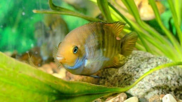 Цихлазома Седжика - удивительная рыбка