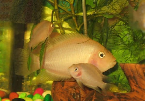 Цихлазома фламинго - красивая рыбка