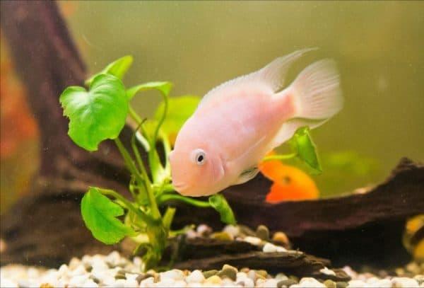 Цихлазома фламинго - прекрасная рыбка в аквариуме