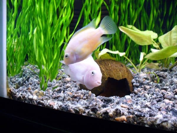 Цихлазома фламинго - рыбка красивая
