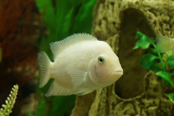 Цихлазома фламинго - рыбка в аквариуме