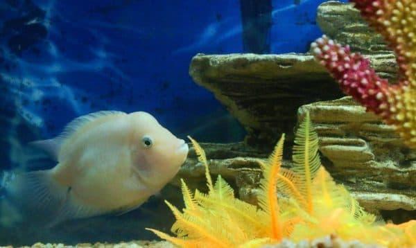 Цихлазома фламинго - удивительная рыбка в аквариуме