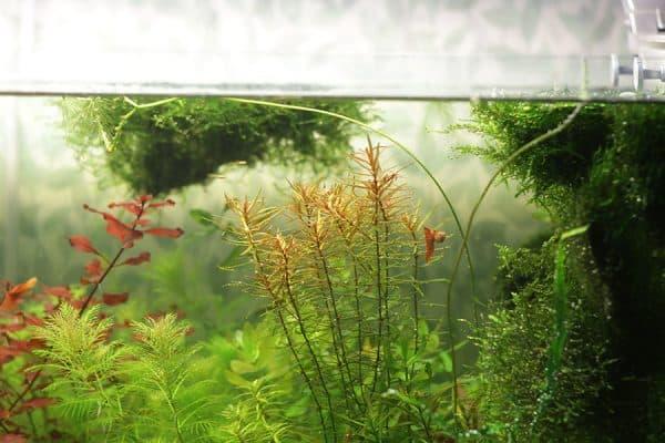 Дидиплис - прекрасное растение