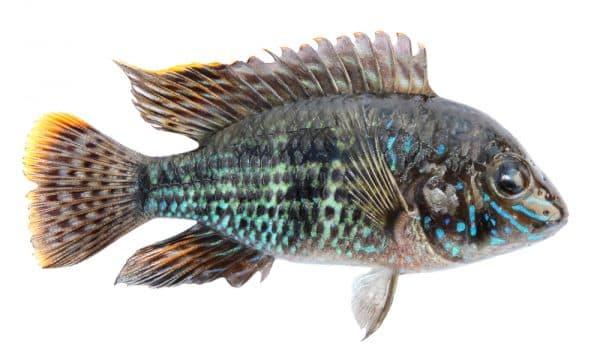 Голубая акара - красивая рыбка