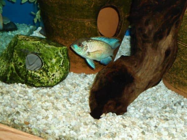 Голубая акара - красивая рыбка в аквариуме