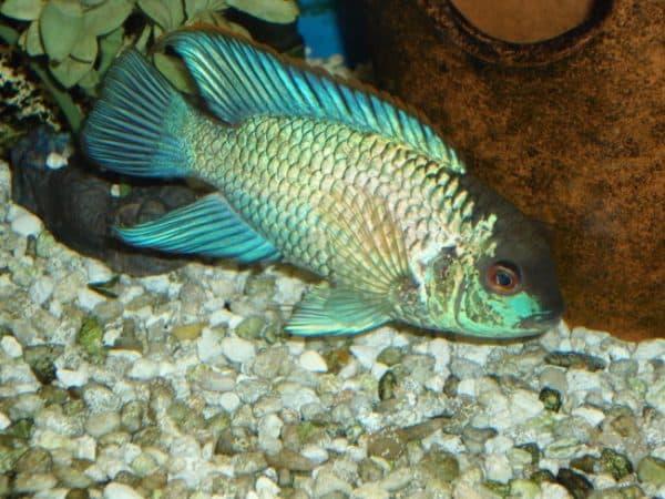 Голубая акара - прекрасная рыбка в аквариуме