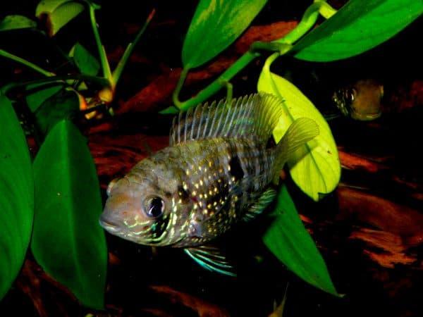 Голубая акара - удивительная рыбка в аквариуме