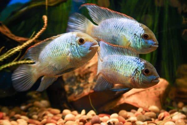 Голубая акара в аквариуме