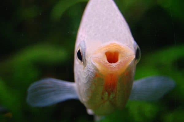 Гурами целующиеся - красивые рыбки