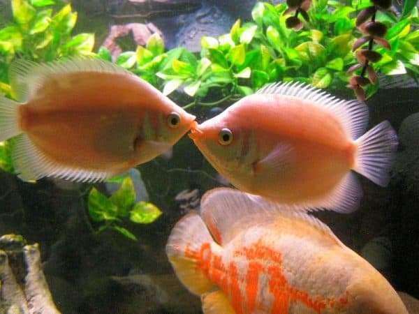 Гурами целующиеся - прекрасные рыбки