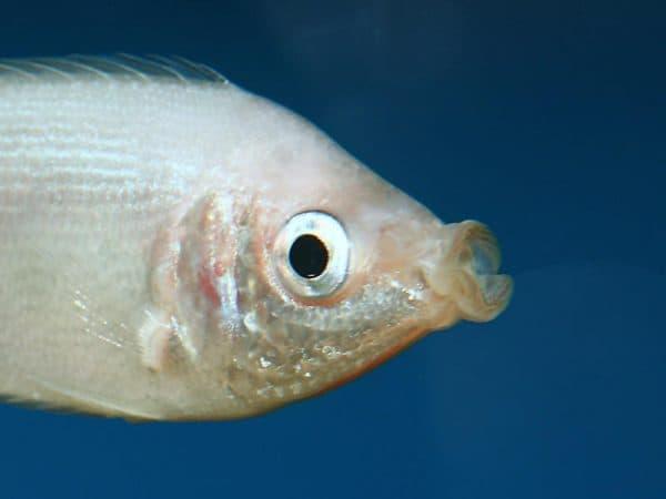 Гурами целующиеся - удивительные рыбки в аквариуме