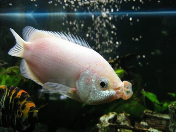 Гурами целующиеся в аквариуме
