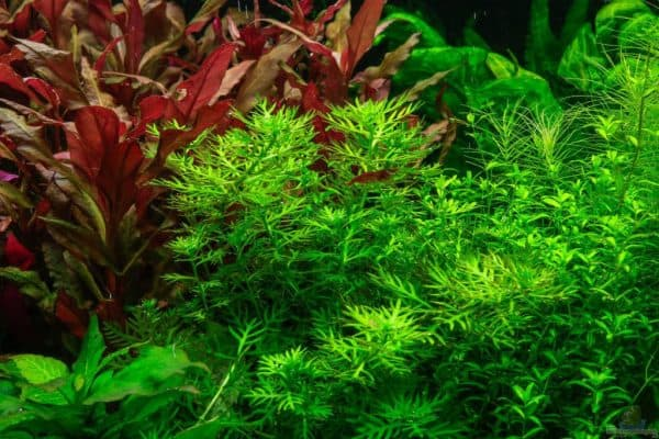 Хоттония - красивое растение в аквариуме