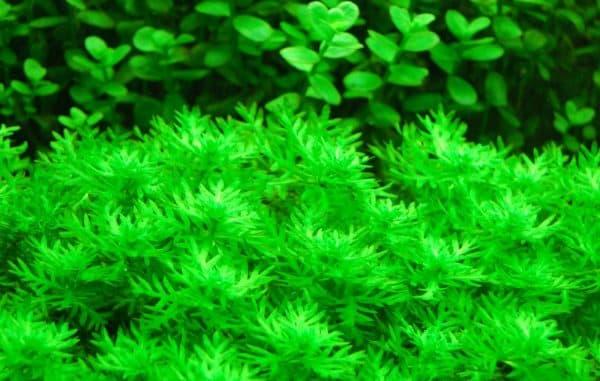 Хоттония - удивительное аквариумное растение