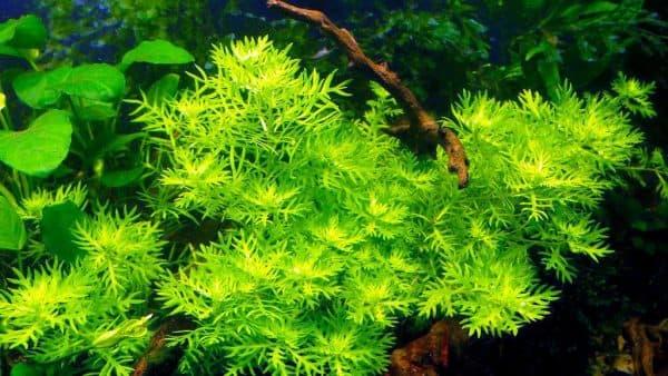 Хоттония - удивительное растение