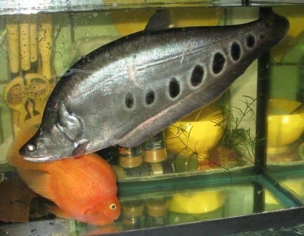 Индийский нож аквариумная рыбка описание