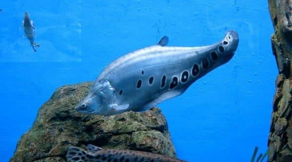 Индийский нож - красивая рыба