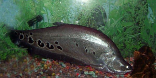 Индийский нож - прекрасная рыба