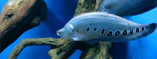 Индийский нож - прекрасная рыба в аквариуме